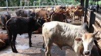 Seorang pria di Malaysia sukses jadi miliader berkat berternak sapi. (Int)